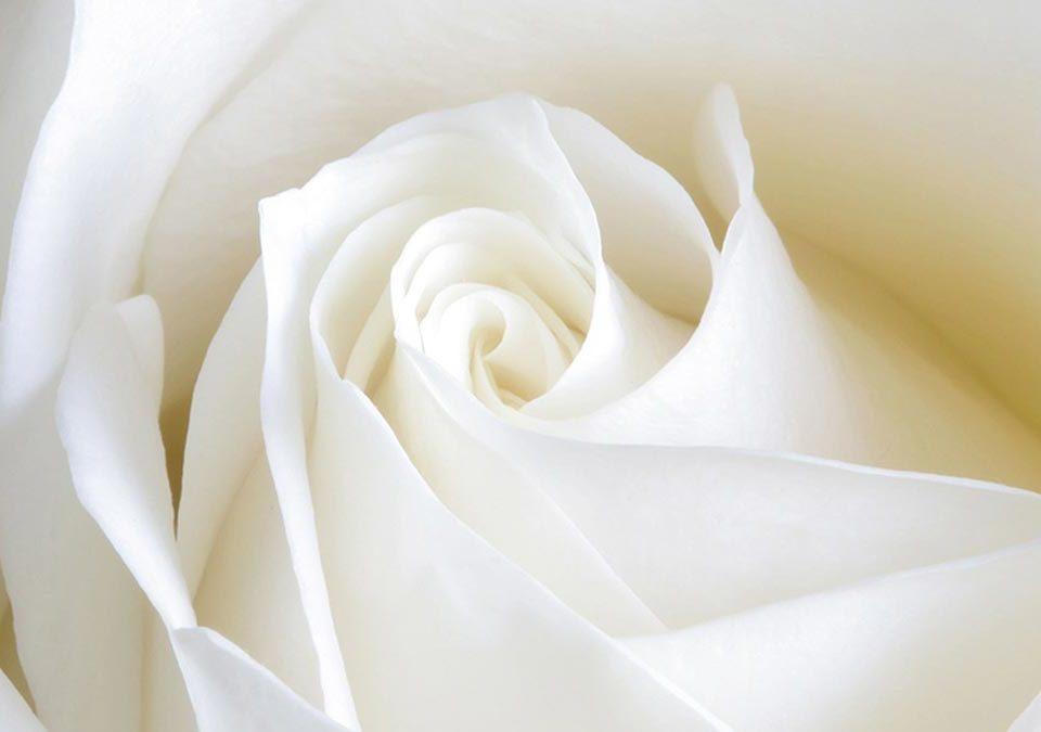 Rosa blanca como representación del blanqueamiento genital